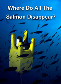 Where Do All The Salmon Disappear?